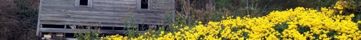 Roadside Golden Flowers