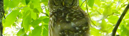 Tennessee Owl